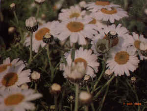 leucanthemum hosmariense flirt Leucanthemum hosmariense (shasta daisy) there are about 25 species of annuals and perennials in this genus, they are clump-forming with toothed or lobed leaves, the flowers are daisy-like and produce white or yellow ray florets and yellow disc florets.